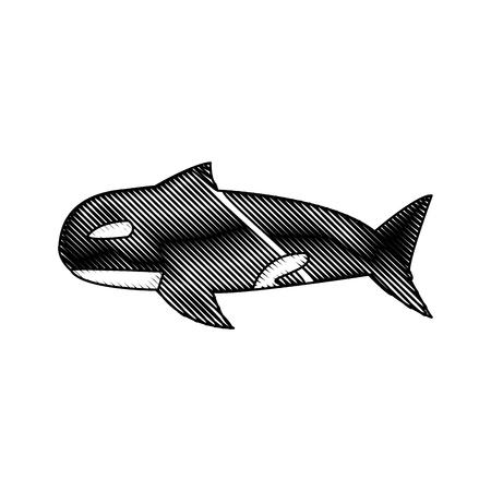 orca whale wildlife marine aquatic vector illustration Illustration