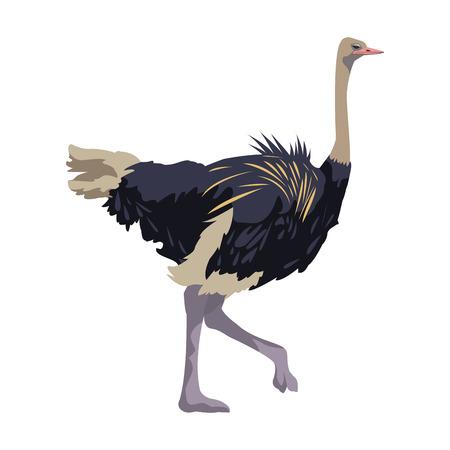 ostrich birds of savannah african fauna wildlife in tropics vector illusration