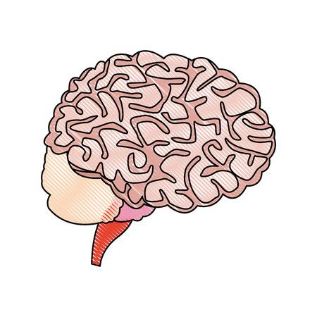 human brain for medical healthy memory anatomy design vector illustration
