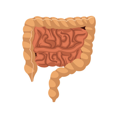 Human intestines in digestive system infographic. Large and small intestine. vector illustration. Illustration