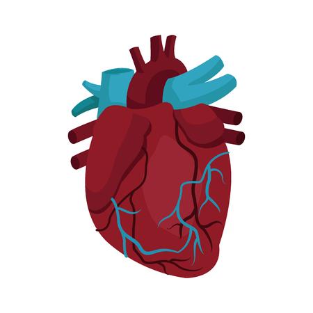 Anatomy of the human heart medical illustration