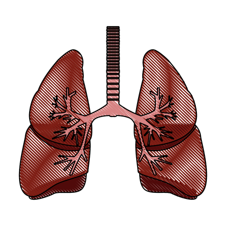 human lungs anatomy medical science internal organ trachea vector illustration Illustration