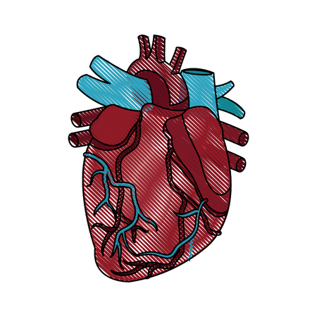 superior vena cava: anatomy of the human heart medical vector illustration Illustration