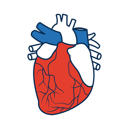 anatomy of the human heart medical vector illustration Illustration