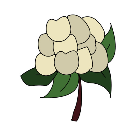 Cauliflower fresh vegetable icon vector illustration graphic design