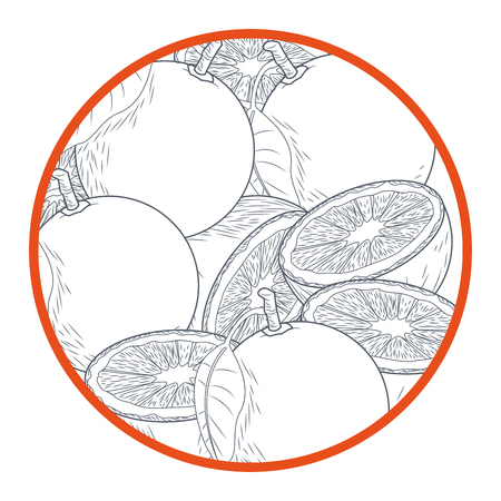 Oranges cut half hand drawing in black and white colors vector illustration Illustration