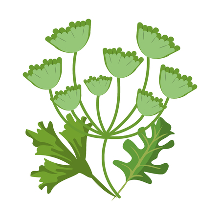 parsley and coriander leaves vector illustration graphic design Ilustrace