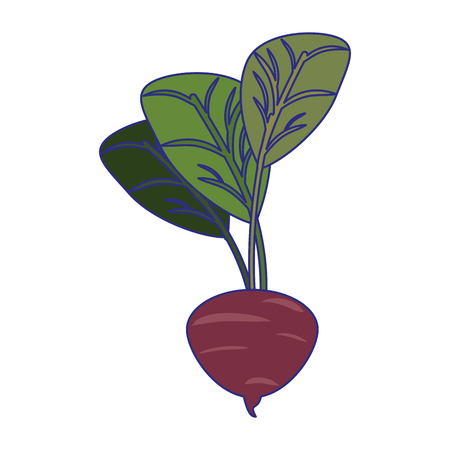 Radish vegetable fresh food vector illustration graphic design