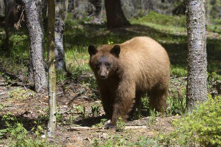 oso negro: De color canela de Am�rica Oso Negro. Foto de archivo