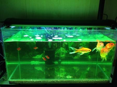 gold: Green Tank Gold Fish
