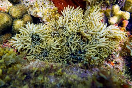 branching coral: Branching Anemone - Lebrunia danae