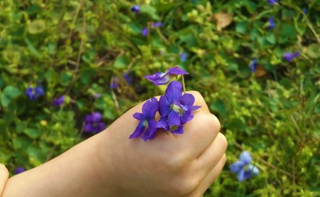 Violets in the hand of a small child with grass in the background Stock Photo