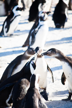 Group of penguins in the wild Stock Photo