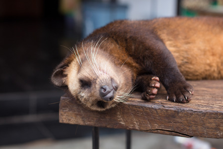 Close up of luwak sleeping Stock Photo