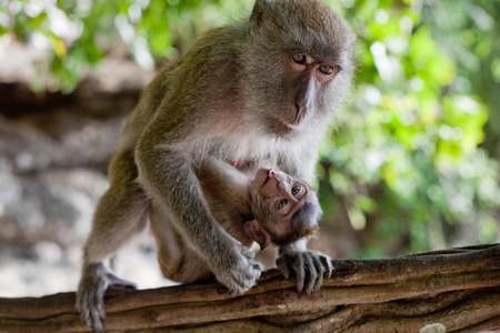 adult macaque monkey holding a baby