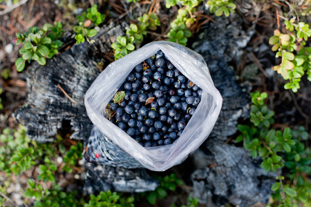 Bag full of ripe blueberries summer in the forest