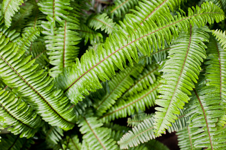 Fern leaves horizontal image background