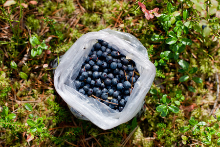 Bag full of ripe blueberries, summer in the forest