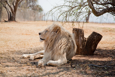 African lion resting under the tree wildlife