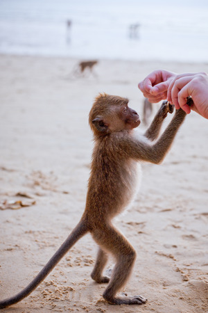 Little monkey taking food from human hand
