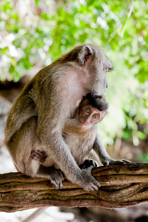 adult macaque monkey holding a baby, vertical