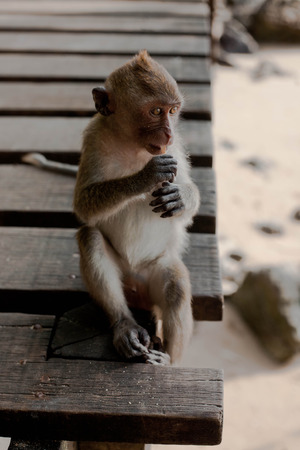 little macaque monkey sitting and holding food in hands Stock Photo