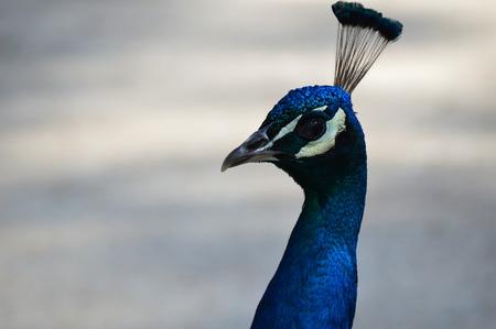 Close up peacock face