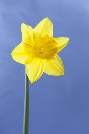 Isolated single dafodil on sunny blue background, happy and bright image