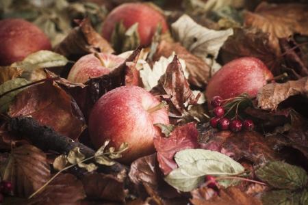 fallen fruit: Fallen apples on leaves with berries in seasonal autumn fall scene