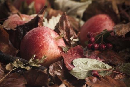 fallen fruit: Fallen apples on leaves with berries in seasonal autumn fall scene after the rain Stock Photo