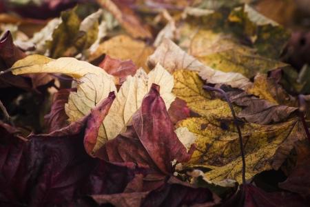 fallen fruit: close up of fallen leaves in autumn fall scene