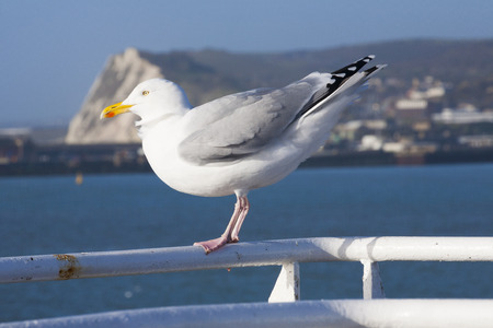 Single seagull on Ferry at Dover Channel crossing shallow depth of field photo