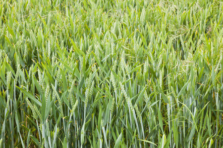 barley head: Crops growing in farmers field, oats, wheat and barley, UK agriculture on Yorkshire coast
