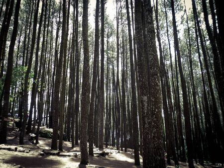 a dense pine forest under a bright sky, nice contrast between the trees and the light