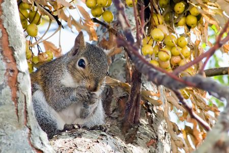 Squirrel harvesting fall china berries stocking up for the coming winter. Stock Photo