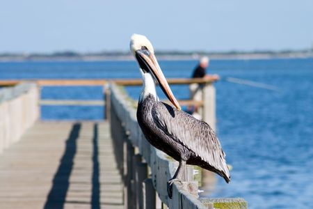 Florida Brown Pelican perched on popular fishing dock enjoying the sunny day