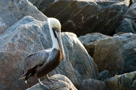 Florida Brown Pelican perched on the Rocks of a breakwater Stock Photo - 306142