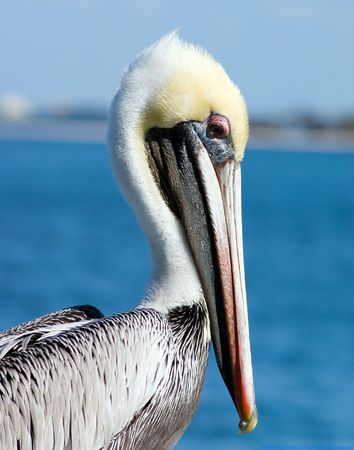 Florida brown Pelican with a shy, bashful expression