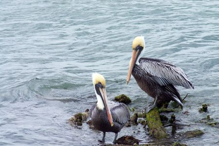 Pair of Brown Pelicans resting on a partially submerged branch in a river Stock Photo - 317912