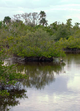 A Red Mangrove in a coastal tide water ecosystem;subject of much debate against coastal development due to its ecological benefits and erosion protection trait. Stock Photo