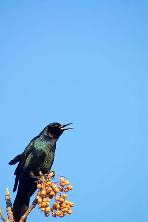 Black bird singing against blue sky and China Berries photo