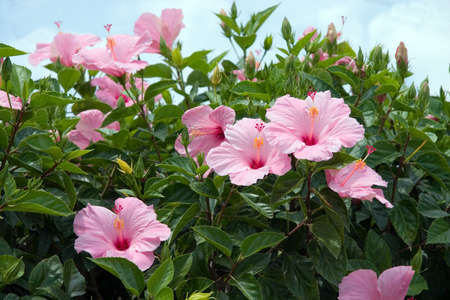 Florida pink Hibiscus blooms photo