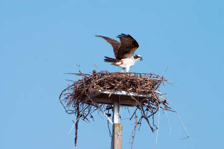 Florida Osprey on nest with wings spread against blue sky. Stock Photo