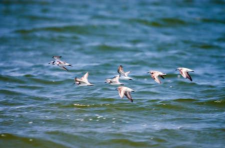 Flock of small birds in flight over water Stock Photo - 416340