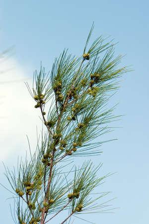 ironwood: Australian Pine branch against soft sky