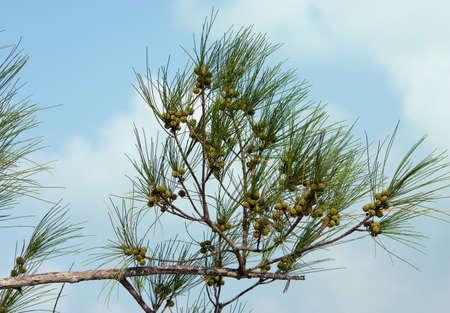 Australian Pine branch against soft sky