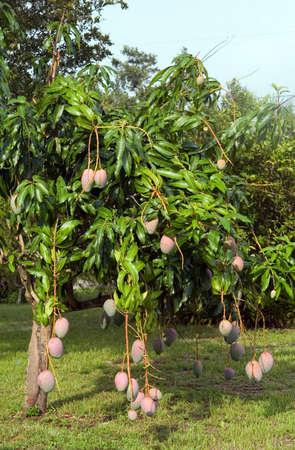 Mango tree in Florida back yard Stock Photo