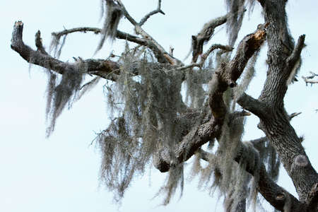 epiphyte: Spanish moss hanging from an expired Southern Live Oak tree
