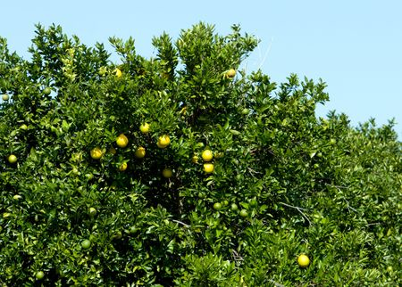 Florida grapefruit ripening on a citrus tree in the sun with clear blue sky behind