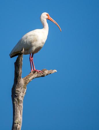 white snowy ibis